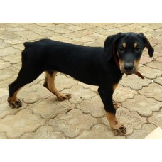 Puppies Dobermann Pinscher aged 2.5 months this 16.09.2017